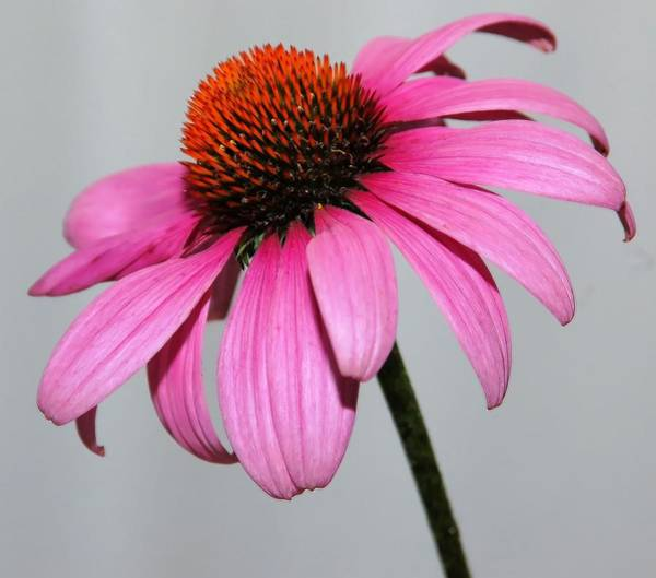 Photograph - Cornflower by Kathy McCabe