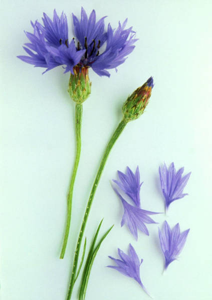 Tonic Photograph - Cornflower by Th Foto-werbung/science Photo Library
