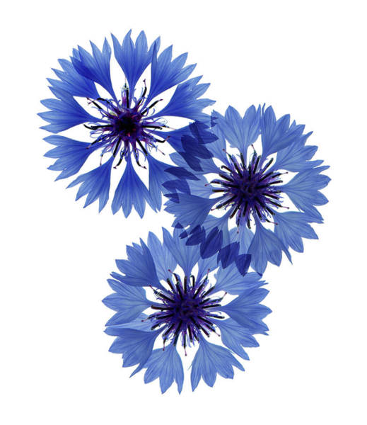 Cornflowers Photograph - Cornflowers by Gustoimages/science Photo Library