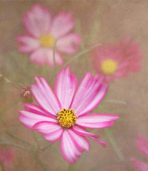 Neon Pink Photograph - Cosmos by Angie Vogel