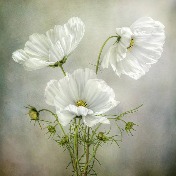 Filter Photograph - Cosmos Charm by Mandy Disher