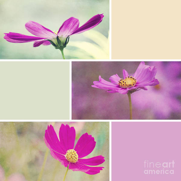 Photograph - Cosmos Collage by Pam  Holdsworth