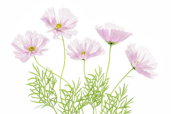 Wall Art - Photograph - Cosmos Cupcake by Mandy Disher