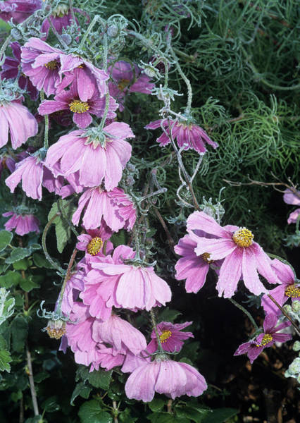 Gazebo Photograph - Cosmos Flowers by Brian Gadsby/science Photo Library