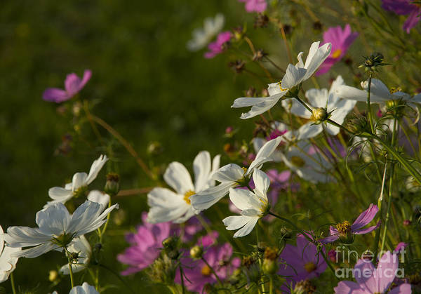 Wall Art - Photograph - Cosmos by Idaho Scenic Images Linda Lantzy