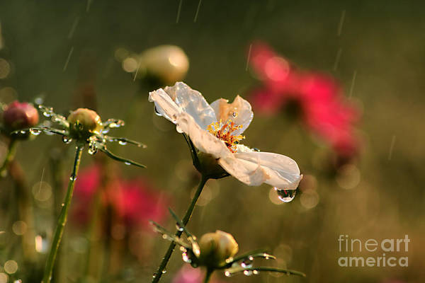 Shutter Speed Photograph - Cosmos In The Rain by Darren Fisher
