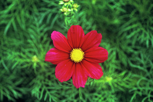 Carmine Wall Art - Photograph - Cosmos 'sonata Carmine' by Anthony Cooper/science Photo Library