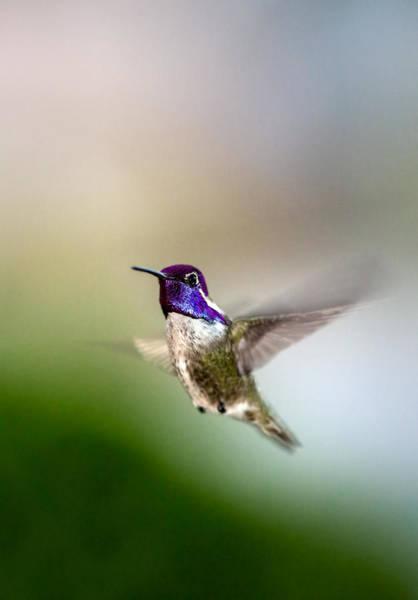 Photograph - Costa's Hummingbird In Flight by Onyonet  Photo Studios