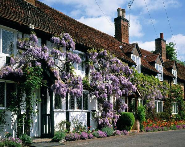 Wisteria Wall Art - Photograph - Cottage by Andy Williams/science Photo Library