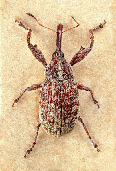 Pest Wall Art - Photograph - Cotton Boll Weevil by Natural History Museum, London