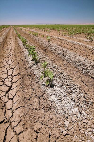 Row Crops Photograph - Cotton Crop In Salty Soil by Gary Banuelos/us Department Of Agriculture