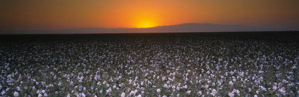 San Joaquin Valley Photograph - Cotton Crops In A Field, San Joaquin by Panoramic Images