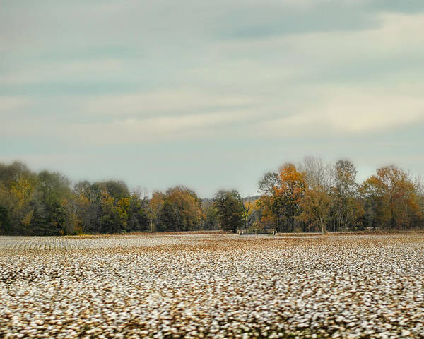 Photograph - Cotton Field In Autumn - Rural Fall Scene by Jai Johnson