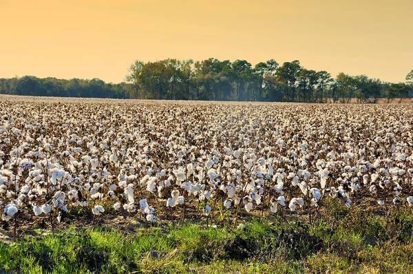 Cotton Photograph - Cotton Fields Back Home by Jan Amiss Photography