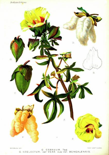 Cutout Wall Art - Photograph - Cotton (gossypium Cernuum And Gossypium Negelctum Vera) by Collection Abecasis/science Photo Library