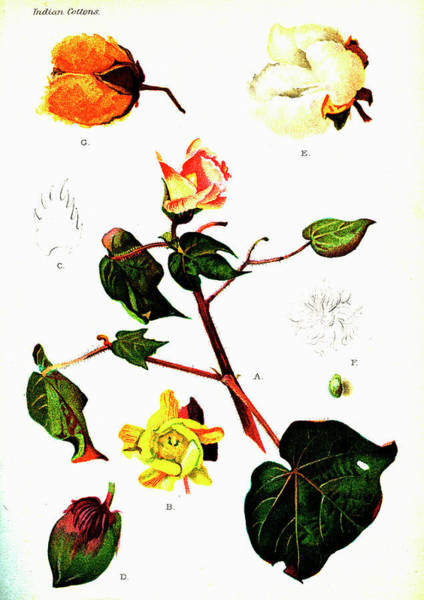 Cutout Wall Art - Photograph - Cotton (gossypium Hirsutum) by Collection Abecasis/science Photo Library