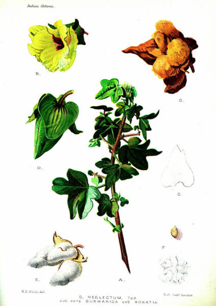 Cutout Wall Art - Photograph - Cotton (gossypium Neglectis) by Collection Abecasis/science Photo Library