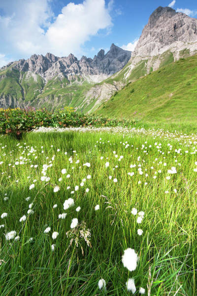 Photograph - Cotton Grass In A Meadow, Allgäuer Alps by Ingmar Wesemann