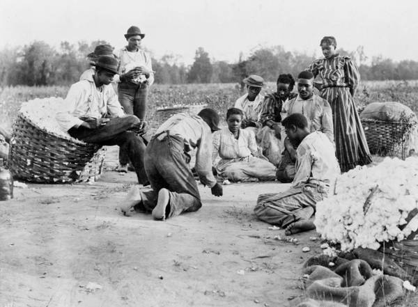 Photograph - Cotton Pickers, 1900 by Granger