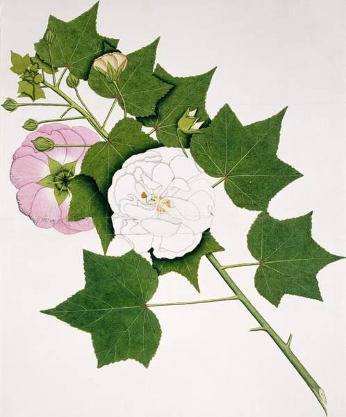 Cotton Rose (hibiscus Mutabilis) Art Print