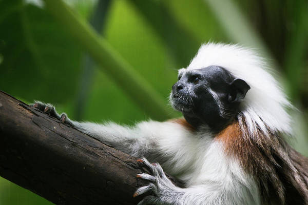 Colombian Wall Art - Photograph - Cotton-top Tamarin by Cedric Favero