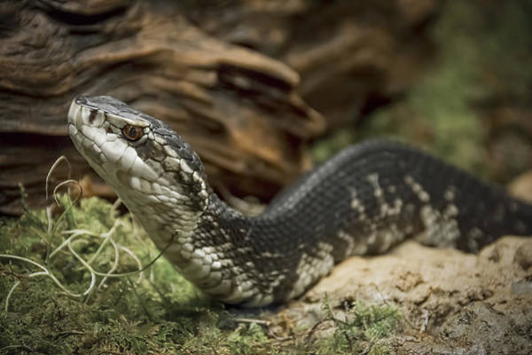 Photograph - Cottonmouth Or Water Moccasin by Penny Lisowski