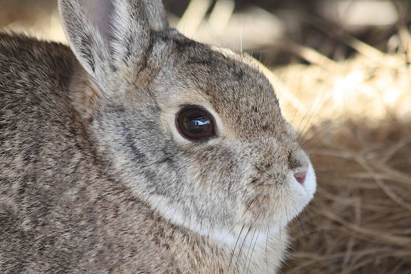 Photograph - Cottontail Close-up by Shane Bechler