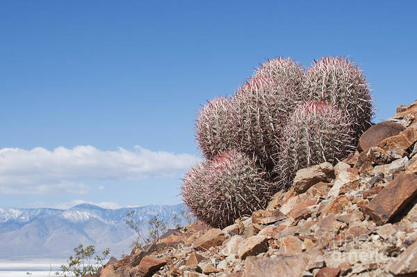 Photograph - Cottontop Cactus by Dan Suzio