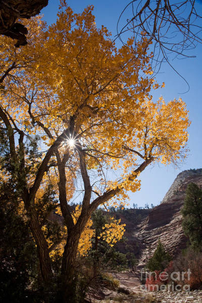Photograph - Cottonwood And Sunstar by Fred Stearns