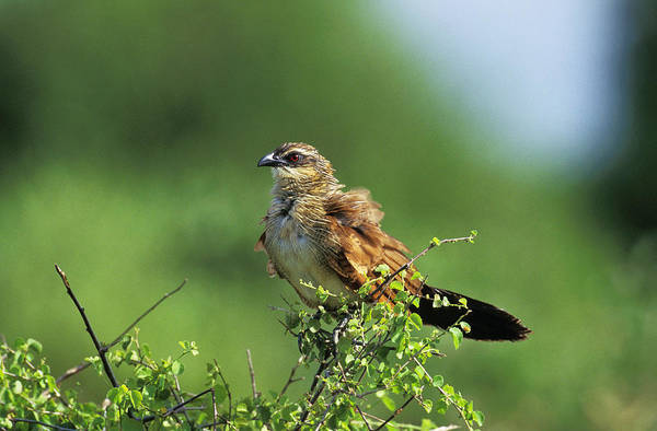 Cuculidae Photograph - Coucal A Sourils Blancs Centropus by Gerard Lacz