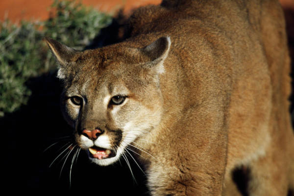 Growling Wall Art - Photograph - Cougar Animal by Animal Images
