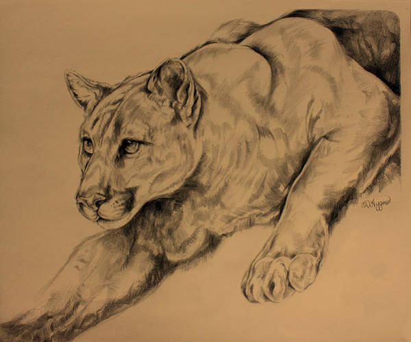 Nocturnal Drawing - Cougar by Derrick Higgins