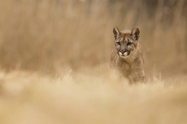 Wall Art - Photograph - Cougar by Milan Zygmunt