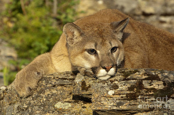 Puma Photograph - Cougar On Lichen Rock by Sandra Bronstein