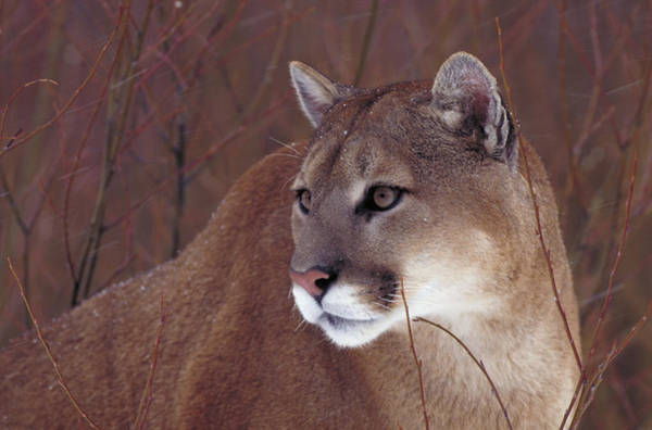 Catamount Photograph - Cougar Or Mountain Lion by Jeffrey Lepore