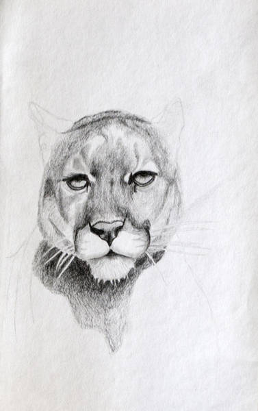 Drawing - Cougar by Wade Clark
