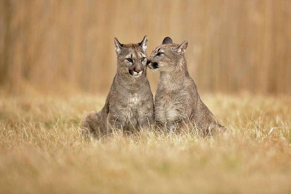 Tender Photograph - Cougars by Milan Zygmunt