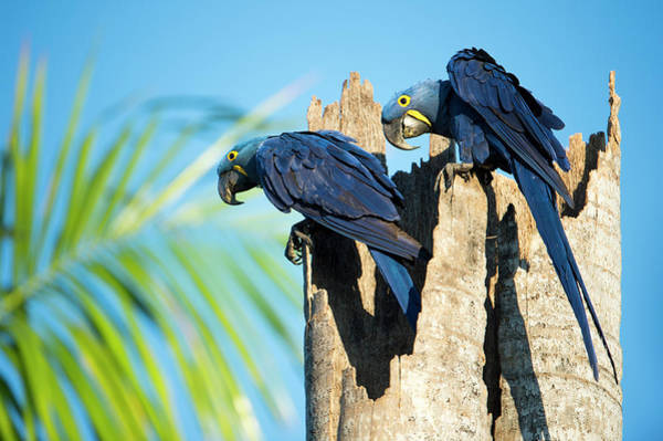 Hyacinth Macaw Photograph - Couple Of Hyacinth Macaws by Berndt Fischer