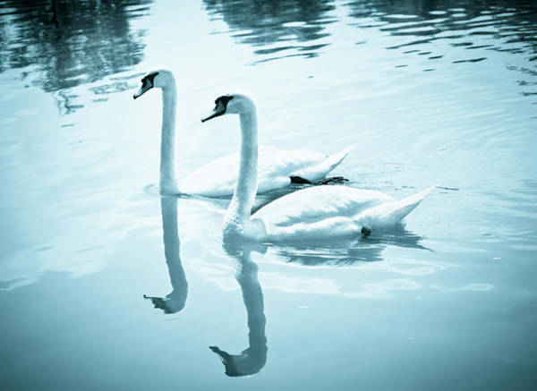 Urban Wildlife Photograph - Couple Of Swans, Blue Toned by Rinocdz