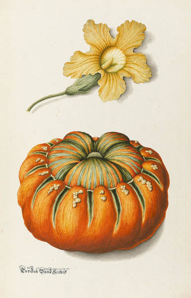 Botanical Drawing - Courgette And A Pumpkin by Joseph Jacob Plenck