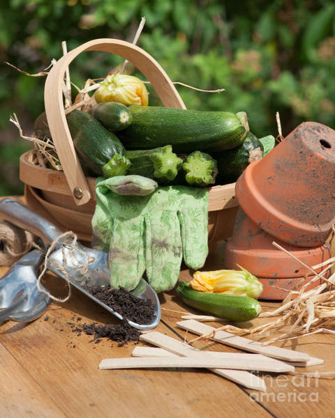Organic Garden Wall Art - Photograph - Courgette Basket With Garden Tools by Amanda Elwell