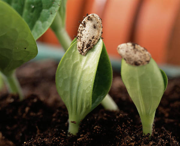 Cucurbita Wall Art - Photograph - Courgette Seedlings by Sheila Terry/science Photo Library