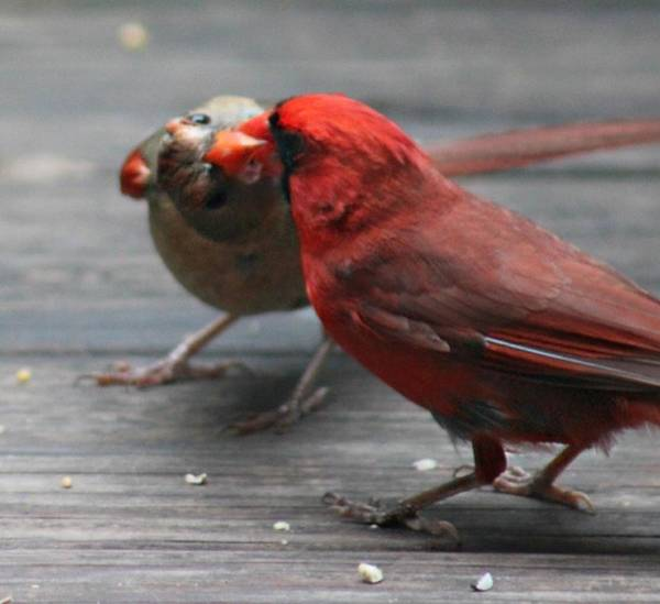Photograph - Courting Cardinal by Candice Trimble