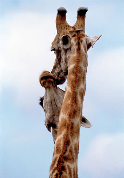 Herbivorous Photograph - Courting Giraffes by Tony Camacho/science Photo Library