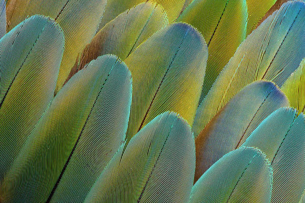 Macaw Photograph - Covert Wing Feathers Of The Camelot by Darrell Gulin