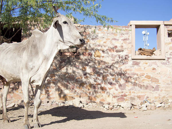 Jodhpur Wall Art - Photograph - Cow And Stonewall With Communications by David H. Wells