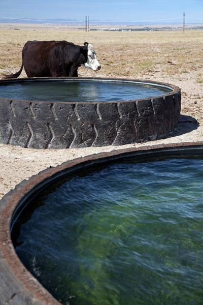 North American Wildlife Photograph - Cow And Water Trough by Jim West
