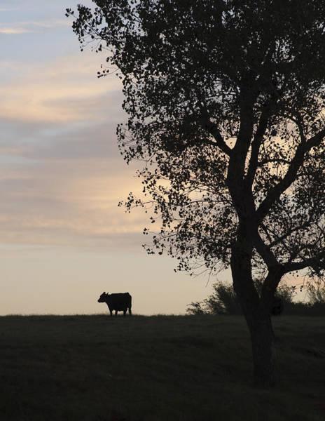 Cow At Last Light Art Print