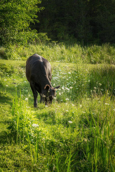 Photograph - Cow by Bill Wakeley