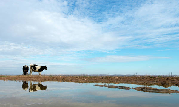 Sea Cow Photograph - Cow By The Rever by Okeyphotos